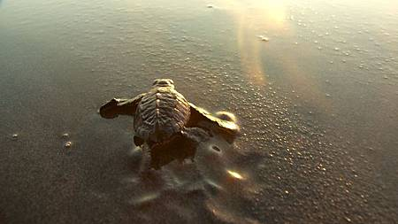 nEO_IMG_3288_Baby_Turtle_into_Golden_Sea