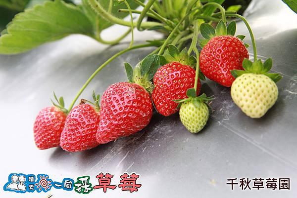 大湖千秋草莓園20131228-268.jpg