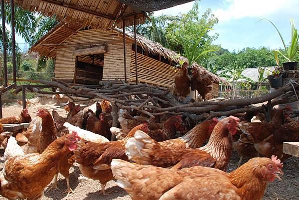 Organic_Free_Range_Chicken_Farm _hr
