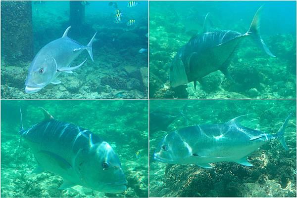 jack fish (1)