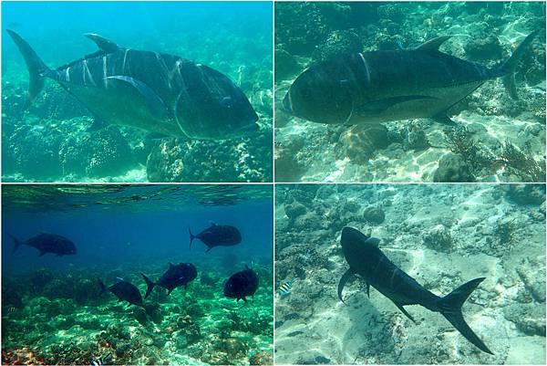 jack fish (2)