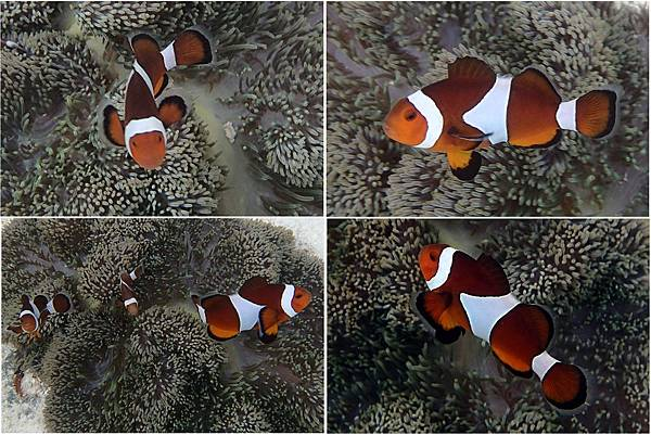 小丑魚01