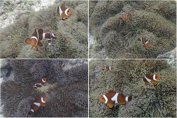 小丑魚03