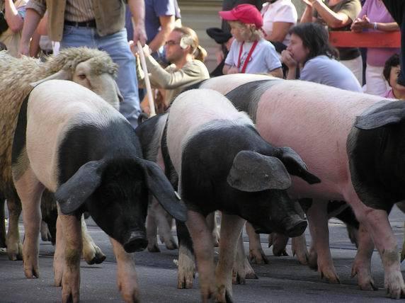 豬群裡怎麼混了一頭羊?