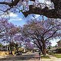 洛杉磯社區藍花楹_6541~1.jpg