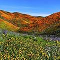20190316Walker Canyon Wildflowers_9483-1.jpg