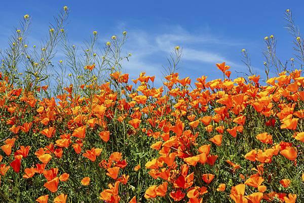 20190316Walker Canyon Wildflowers_9501-1.jpg