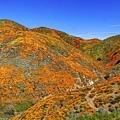20190316Walker Canyon Wildflowers_9504-全景-1.jpg
