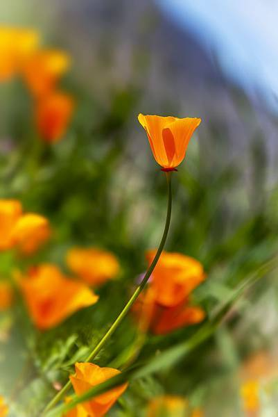 20190316Walker Canyon Wildflowers_9524-1.jpg