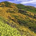 20190316Walker Canyon Wildflowers_9540-1_1.jpg