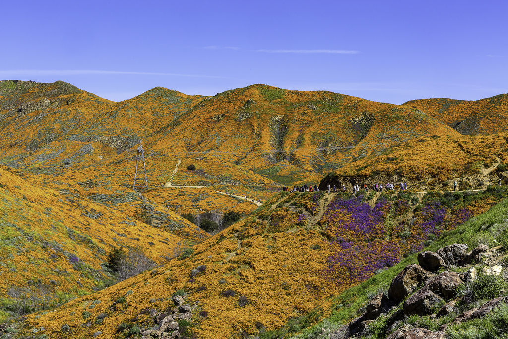 20190316Walker Canyon Wildflowers_9557-1_1.jpg