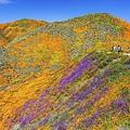 20190316Walker Canyon Wildflowers_9594-1.jpg