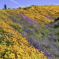20190316Walker Canyon Wildflowers_9607-HDR-1_1.jpg