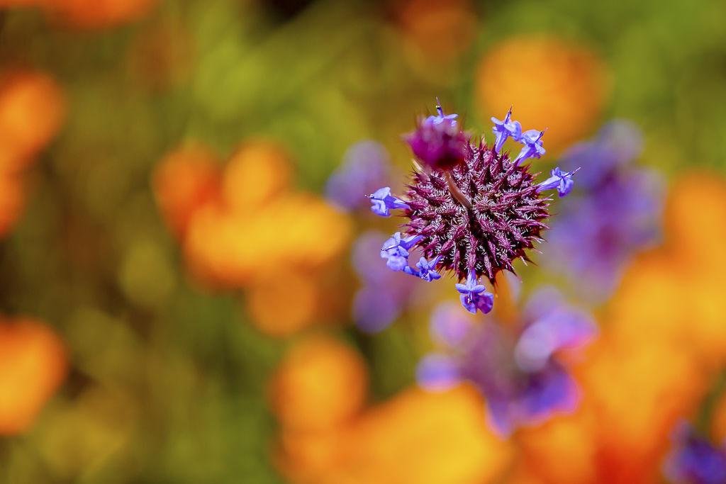 20190316Walker Canyon Wildflowers_9637-1.jpg