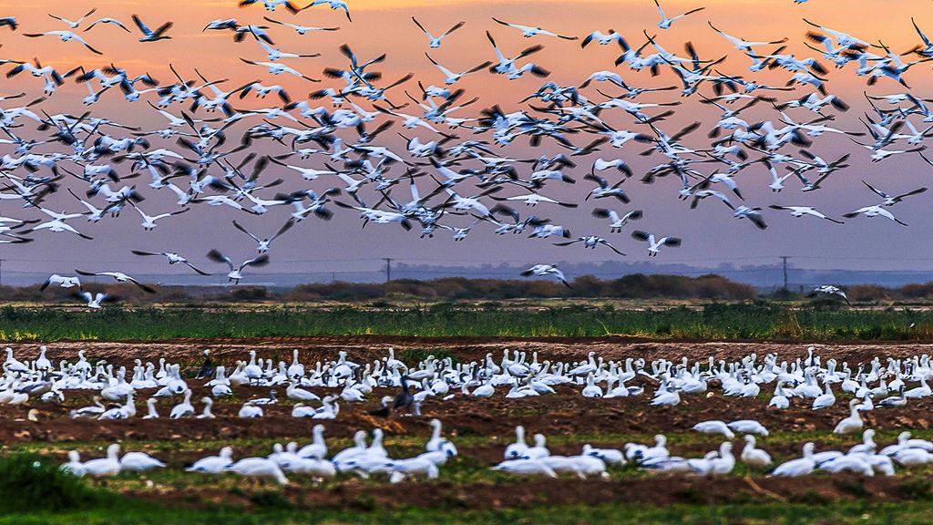 Migratory bird's annual dance.jpg