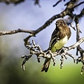 Red-eyed bird on a branch.jpg