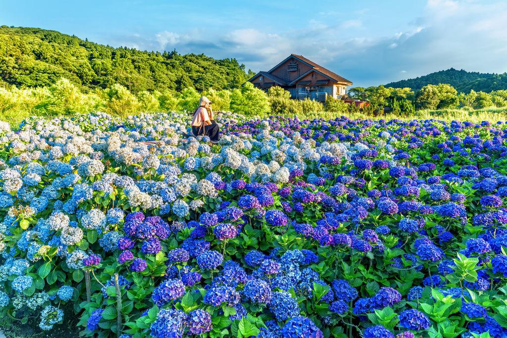 20200617竹子湖繡球花財福_8832-3.jpg