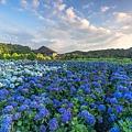 20200617竹子湖繡球花財福_8931-1.jpg
