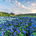 20200617竹子湖繡球花財福_8931-2.jpg