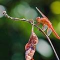 2020070820200708後院蜻蜓_7540-1.jpg