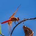 20200708220200708後院蜻蜓_7560-1.jpg