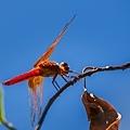 20200708後院蜻蜓_7560-1.jpg