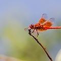20200710後院蜻蜓_7756-1.jpg