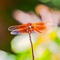 20200710後院蜻蜓_7743-1.jpg