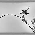 20200814後院蜂鳥一_0360-1.jpg