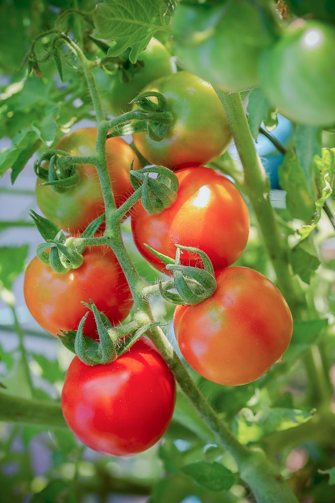 202009280014020200928後院紅番茄_3707-1.jpg