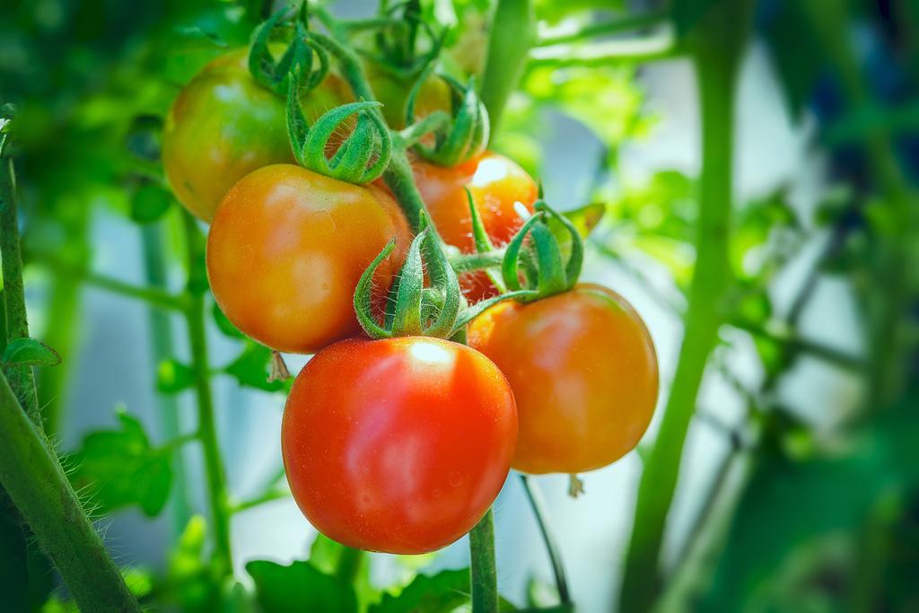 202009280013920200928後院紅番茄_3650-1.jpg