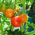 202009280014120200928後院紅番茄_3664-1.jpg