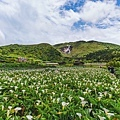 202104230063220210422竹子湖海芋三_1156-1.jpg