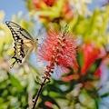 202106050073420210605後院蝴蝶與蜂鳥_6329-1.jpg