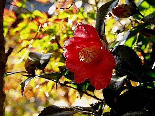椿(つばき).山茶花