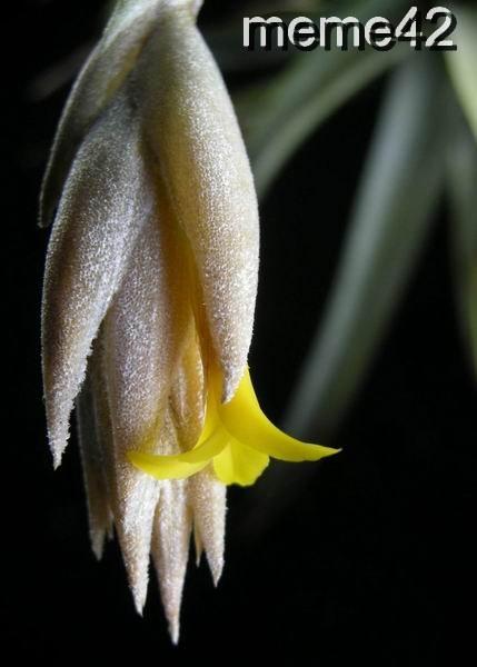 Tillandsia 空氣鳳梨--- ixioides黃水晶開花了