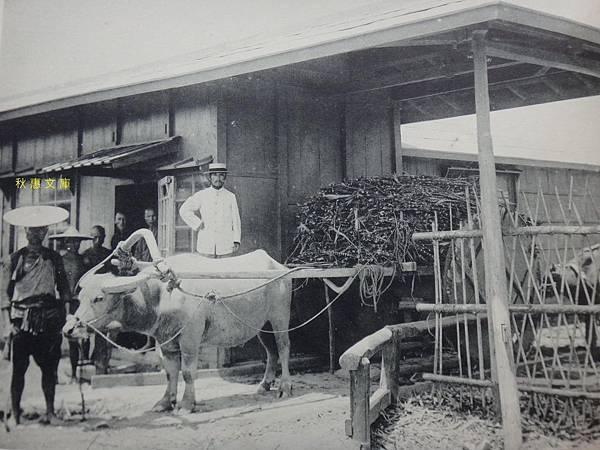 明治37年(1904)台灣製糖橋仔頭工場(現高雄橋頭)甘蔗車過磅