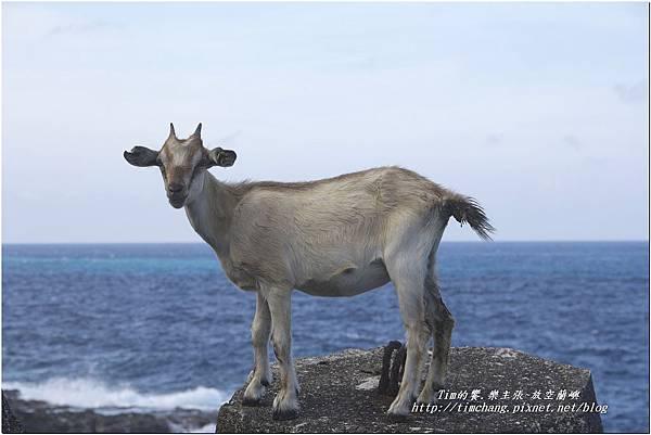 到處都是羊  (4)