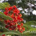 不知名的美麗路樹 (1)