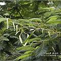 不知名的美麗路樹 (3)