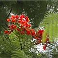 不知名的美麗路樹 (6)