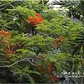不知名的美麗路樹 (12)