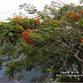 不知名的美麗路樹 (14)