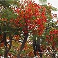 不知名的美麗路樹 (17)