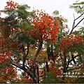 不知名的美麗路樹 (18)