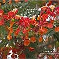 不知名的美麗路樹 (20)