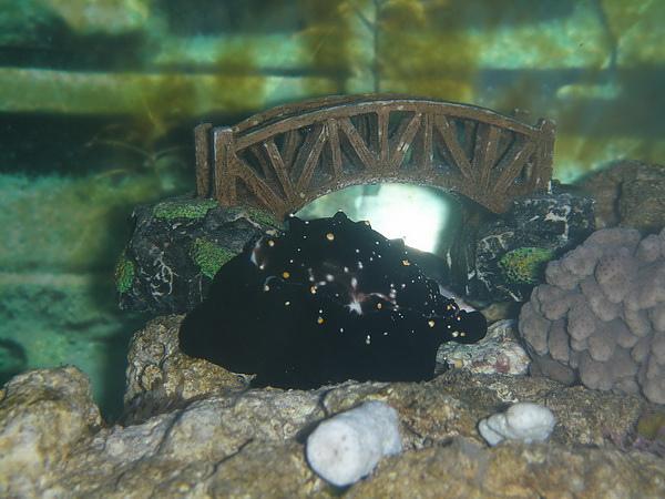 美麗的貝類~不爽就..釋放毒~也放生了.JPG