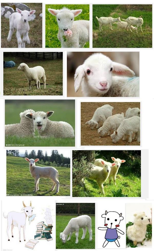 小羊sample