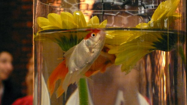 餐桌上的金魚