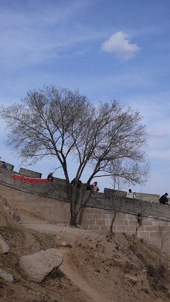 八達嶺 老樹